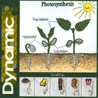 Dynamic - Photosynthesis