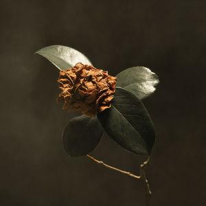 Young Sick Camellia